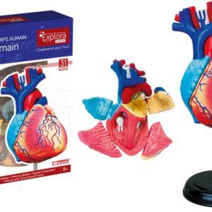 anatomie du coeur